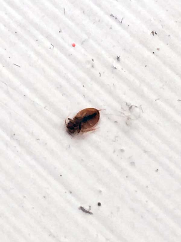 Bed Bugs Dublin Ireland Signs Amp Treatment Effective